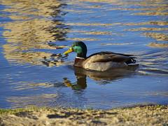 Durius flumen (Luicabe) Tags: naturaleza luicabe duero yarat1 animal reflejo río exterior luis airelibre zoom pato ave ánade agua zamora orilla enazamorado ngc