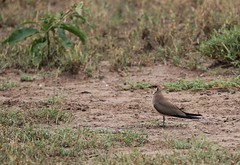 Collared Pratincole (douwesvincent) Tags: nature uganda oeganda africa world earth eco natural outdoor safari wild open holiday trip birding explore green flora fauna life