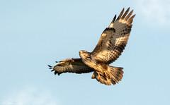 Buzzard on the wing. (Steve (Hooky) Waddingham) Tags: stevenwaddinghamphotography animal planet nature countryside prey wild wildlife flight