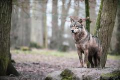 725A9019 (regisfiacre) Tags: parc animalier sainte croix saintecroix rhodes moselle animaux animals animal tier zoo france canon 5div mark iv 4 plein format full 100400mm loup gris grey wolf