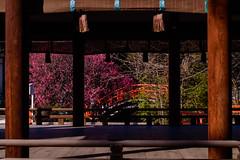 DSC_0145 (ponkiti3) Tags: 下鴨神社 京都 梅 植物 風景