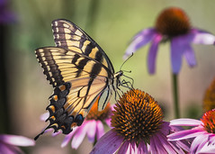 Palmyra Cove Nature Center New Jersey (astrochemist2003) Tags: eastern tiger swallowtail butterfly new jersey boundry creek park purple cone flower echinachae nature