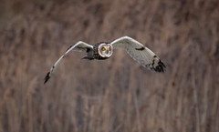 Short-eared Owl (Steve D'Cruze) Tags: shorteared owl asio flammeus nikon d500 sigma 150600mm