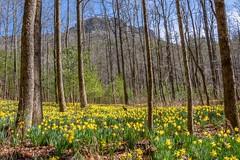 Daffofil Flats (HD Carolina) Tags: daffofilflats flowers daffodil linvillegorge northcarolina hike hiking breathtakinglandscapes