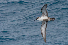 Great Shearwater (Tim Melling) Tags: puffinus ardenna gravis great shearwater falkland islands south atlantic timmelling