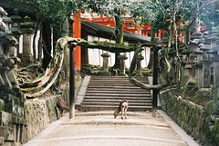 Gnarly (GingerKimchi) Tags: nara osaka japan travel nature asia film 35mm fujifilm canon deer canona1 2019 spring february march