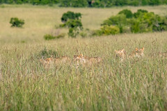 Are Those Lions? (helenehoffman) Tags: africa kenya conservationstatusvulnerable felidae mammal lion cat bigcat pantheraleo carnivore maasaimaranationalreserve animal