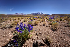 Field of lupines in Atacama (marko.erman) Tags: sanpedrodeatacama chile highaltitude desert lupines flowers volcanos mountains blooming blossom uwa ultrawideangle southamerica latinamerica sony panorama landscape horizon beautiful nature wilderness outdoor travel