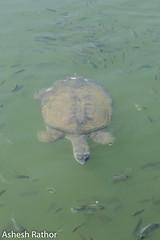 Indian flapshell turtle (asheshr) Tags: 18140mm lissemyspunctata champeshwar champeshwartemple d7200 freshwaterturtles indianflapshellturtle nikon nikond7200 odisha orissa templepond turtle turtles