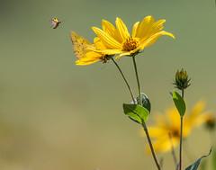 Summer Dreams (dshoning) Tags: flowers bugs yellow iowa fields butterflies
