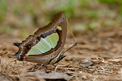 Polyura athamas ssp. athamas -  Chiang Dao_20180205_1352_DSC_8448_DxO (I love comments but delete awards - Jan F. Rasmuss) Tags: charaxinae nymphalidae thailand d800 butterfly butterflies macro closeup insecta lepidoptera rhopalocera nikon janfischerrasmussen janfrasmussen asia southeastasia polyuraathamas polyura polyuraathamassspathamas athamas chiangdao chiangmai chiangmaiprovince