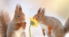 red squirrels smelling a yellow daisy (Geert Weggen) Tags: animal branchplantpart closeup cute horizontal ice leaf looking mammal nature nopeople photography red rodent snow squirrel winter flower green redsquirrel yellow love valentine smell daisy petal bispgården jämtland sweden