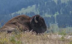 Bison (agnish.dey) Tags: wildlife wilderness yellowstone naturallight nature naturephotograph nikon naturethroughthelens nationalpark rockymountains bison animalplanet coth d500