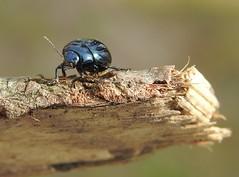 Broad-shouldered Leaf Beetle (Chrysolina oricalcia) (Nick Dobbs) Tags: broadshouldered leaf beet beetle chrysomelidae chrysomelinae dorset coleoptera insect