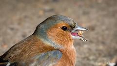 Bogfinke 2019-03-31 (Gorixdk) Tags: danmark denmark dk canon eos 6d mark ii 2 ef 100400mm f4556l is dslr fugl fugle bird birds vogel oiseau oiseaux vögel hammel