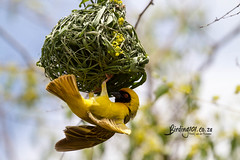 Southern Masked Weaver, Satara, Kruger National Park, Jan 2019 (roelofvdb) Tags: 2019 814 date january knp place satara southernafricanbirds southernmaskedweaver weaver weaversouthernmasked year