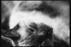 (blakeboulka) Tags: 35mm black white ilford hp5 plus film bw hp5plus bnw filmstock light dark shadows contrast analog manual nikon f3 animals cats diego sprawl stretch furry paws whiskers teddy bear