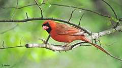 Inquisitive Cardinal (Suzanham) Tags: cardinal branch bird songbird nature wildlife yardbird red mississippi tree cardinalidae passerine redbird