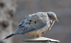 Please, No Photos!! (John Neziol) Tags: jrneziolphotography portrait animal animalphotography wildlife closeup photography outdoor ornithology brantford beautiful bright bokeh bird birdphotography naturallight nikon nature feathers mourningdove dove