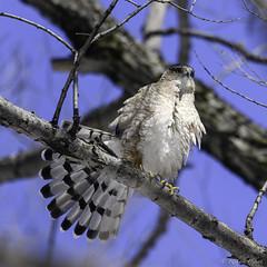 Épervier de Cooper /Cooper's Hawk (richard.hebert68) Tags: nikon z7 300mmf4pf ciel bleu arbre forêts domainemaizerets québec canada