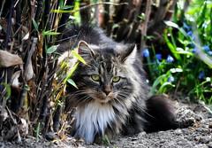 Man muss den Katzen nicht beibringen, (SpitMcGee) Tags: lizzi zuckerschnecke cat katze pet bambus inmeinemgarten inmygarden jamesmason spitmcgee