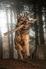 Picture of the Day (Keshet Kennels & Rescue) Tags: adoption dog ottawa ontario canada keshet large breed dogs animal animals pet pets field nature photography spring forest light mist branch stick fetch run play