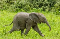 Running, to catch up... (lyn.f) Tags: baby elephant loxodontaafricana chobenationalpark botswana mammalswild