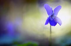 ... HOY SERÉ LILA ... (Device66.) Tags: mijradin lilas xicon mygarden lovely beautiful winter flowers