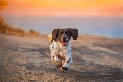 Running (The Papa'razzi of dogs) Tags: sun zigzag spaniel outside pet nature water dog animal outdoor running seaside cocker hund vestervig northdenmarkregion denmark dk
