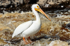 Rapid Fishing (Images by Beaulin) Tags: rapidriver wildlife birds pelecanuserythrorhynchos waterbirds clementson americanwhitepelican lakeofthewoodscounty minnesota
