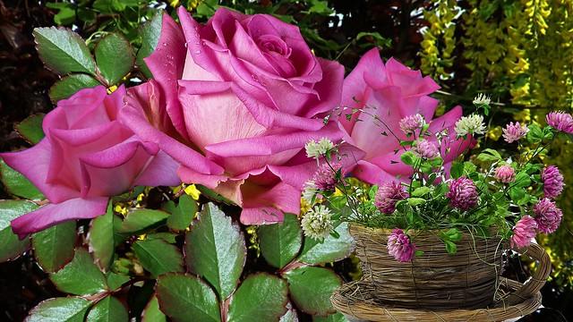 Обои цветы, роза, клевер картинки на рабочий стол, раздел цветы - скачать