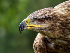 eagle (robertoburchi1949) Tags: birds uccelli nature natura fauna aquila eagle