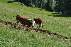 Cows on a steep hill ... (1060769) (Le Photiste) Tags: clay cowsonasteephill hohesalve1828mkitzbühelalpsaustria kitzbühelalpsaustria austria cows animals mountainlandscape steephill panasonic panasonicdmcfx30 ngc nature naturesprime rainbowofnaturelevel1red planetearthnature planetearth meadow austrianvalley afeastformyeyes aphotographersview autofocus artisticimpressions mostrelevant mostinteresting perfectview perfect beautiful blinkagain beautifulcapture bestpeople'schoice creativeimpuls cazadoresdeimágenes digifotopro damncoolphotographers digitalcreations django'smaster friendsforever finegold fairplay greatphotographers groupecharlie peacetookovermyheart clapclap hairygitselite ineffable infinitexposure iqimagequality interesting inmyeyes livingwithmultiplesclerosisms lovelyflickr myfriendspictures mastersofcreativephotography momentsinyourlife magicmomentsinyourlife niceasitgets photographers prophoto photographicworld photomix soe simplysuperb showcaseimages simplythebest simplybecause thebestshot theredgroup thelooklevel1red vividstriking wow worldofdetails wildlife yourbestoftoday green