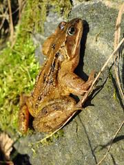 Frog with passenger (Ian Robin Jackson) Tags: nature closeup snail green spring patterns