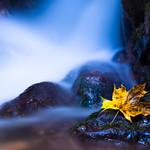 Cold Maple Leaf thumbnail