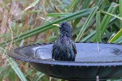 A bathing Starling (Liam Waddell) Tags: starling bird bath wet water plants green grass bamboo backdoor kilwinning ayrshire scotland yellow black purple