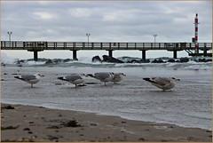 Against the Wind (der bischheimer) Tags: wustrow darss ostsee mecklenburgvorpommern meer möwen seebrücke strand canon derbischheimer