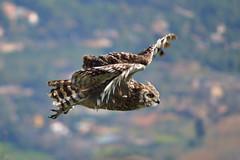 Freedom (marinadelcastell) Tags: owl hibou eule gufo búho fly voler fliegen volare volar cimdelesàligues dof depthoffield wing aile flügel ala speed vitesse geschwindigkeit velocità velocidad velocitat