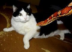 """Ozzy"". (EcoSnake) Tags: ozzy cats friends pets george cornsnake redratsnake pantherophisguttata"
