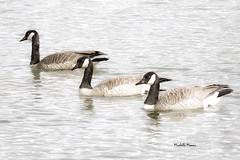 Canada Geese (lamoustique) Tags: canadagoose brantacanadensis klinelinepark vancouver washington usa