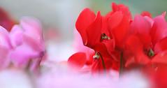 Pink vs. Red (lfeng1014) Tags: pinkvsred cyclamen redcyclamen pinkcyclamen whitecyclamen flower flowermacro macro macrophotography closeup bokeh soft depthoffield dof canon5dmarkiii ef70200mmf28lisiiusm centennialparkconservatory toronto lifeng 仙客來