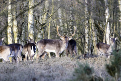 Fallow Deer, Cannock Chase 03/02/2019 (Gary S. Crutchley) Tags: fallow deer fauna cannock chase forest wood woodland animals nature wild uk great britain england united kingdom nikon d800 natural history raw wildlife staffordshire doe stag