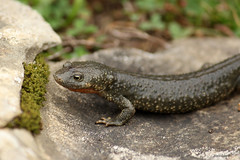 Calotriton asper (leba.nico) Tags: nature environnement amphibien grenouille crapaud triton