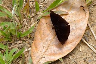 Rohana parisatis ssp. pseudosiamensis - Chiang Dao_20180202_1412_DSC_7551_DxO
