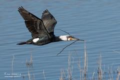 Grand cormoran - 6732 (Luc TORRES) Tags: cormoran faune grandcormoran nature oiseaux palmipède france phalacrocoraxcarbo greatcormorant domainedubuttet lacdubourget