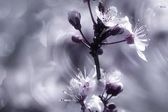 Bokeh in Flora (Small and Beautiful) Tags: bokehinflora lookingcloseonfriday bokeh blossom beauty pastel