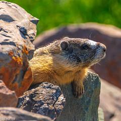 0I7A3607.jpg (Murray Foubister) Tags: 2018 summer bc kamloops mammals