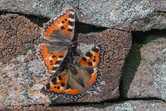 Small Tortoiseshells (Tim Melling) Tags: aglaisurticae small tortoiseshell butterfly pair peak district moors south yorkshire timmelling
