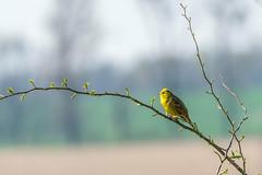 Spring 2019 is singing (pasiak75) Tags: 2019 ptaki birds singing spring wiosna