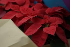 DSC00605- Favourite Plants (oliveplum) Tags: poinsettiawishes2018 christmas leica60f28macro sony singapore gardensbythebay flowerdome
